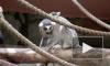 В Ленинградском зоопарке назвали имя и пол новорожденного лемура
