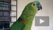 Попугай - оперный певец