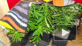 Уроженец Украины выращивал в Петербурге марихуану