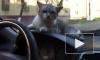 Забавное видео из Брянска: водитель посадил кота за руль