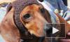 """Репортаж с """"Такс-парада"""": собаки в экстравагантных костюмах удивили петербуржцев и гостей города"""