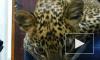 """Жители Ставрополя начали """"охоту на ведьм"""", похитивших детёнышей леопарда"""