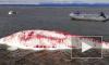 В Хабаровском крае спасли израненных белух, которых выбросило на берег