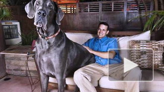 Самый крупный пес в мире умер, не дожив до 8 лет