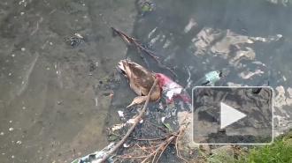 В реке Новая снова умирают уточки