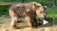 Затравленный людьми медведь Сеня дослужился до завхоза