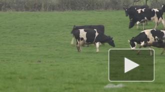 В Ленобласти арестовано стадо коров