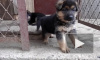 Бездушного вора щенков поймали полицейские Кузбасса