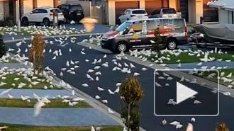 Тысячи попугаев атаковали жителей Австралии