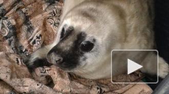 В Петербурге появится Фонд друзей балтийской нерпы, для помощи пресноводному тюленю
