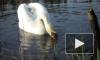 Обезумевший лебедь напал на семью в Ленобласти
