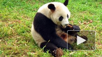"""Китаец вытребовал у чиновников 83 тыс долларов за один укус """"мимишной"""" панды"""