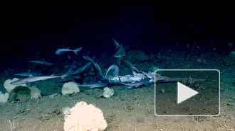 Видео: на глубине 450 метров стая маленьких акул съела рыбу-меч