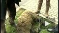 Семилетний сын Стерлигова зарезал барана в центре ...