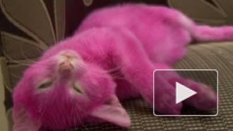 Котенок писательницы Лены Лениной, покрашенный в розовый, умер от интоксикации