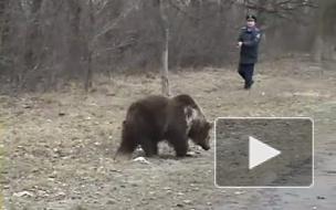 Экологи: Томские медведи выходят из леса на трассу и клянчат у водителей еду