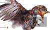 Уникальное видео: Ученые обнародовали сохранившегося в янтаре птенца возрастом 99 миллионов лет