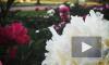 Видео: Полторы тысячи пионов распустились на Марсовом поле в Петербурге