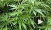 Власти Грузии хотят легализовать марихуану