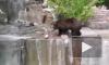 Пьяный мужчина напал на медведя в зоопарке и попал на видео