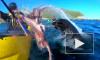 Видео из Новой Зеландии: Тюлень швырнул в лицо каякеру осьминога