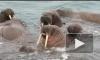 Россияне в Арктике сыграли на гармошке вальс для моржей (видео)