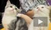 Кошек и шиншилл разодели для зоошоу
