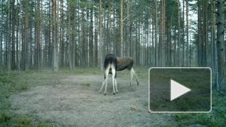 Брачный бой лосей за самку в Ленобласти попал на видео