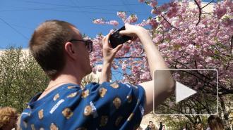 Сакура в Саду дружбы на Литейном проспекте собирает толпы петербуржцев