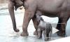 В Московском зоопарке прибавление: Родился слоненок весом 90 кг