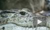 Аллигатор-людоед загадочным образом исчез из пруда Диснейленда в США