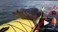Шотландец покатал дикого тюленя на байдарке и снял ...