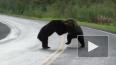 Видео из Канады: На автомобильной трассе два медведя ...