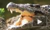 Нильского крокодила назвали Геной Гражданским и отправят на карантин в экзотариум