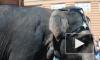 Слоны получили специальный приз петербургского фестиваля циркового искусства