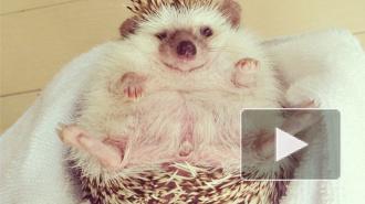 У котиков появились конкуренты: интернет-пользователи в восторге от пухлых ежиков, фото зверей покоряют Сеть