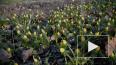 Теплая зима пробудила растения: как флора Петербурга ...