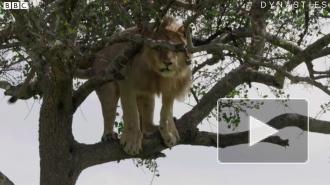 Видео: лев не мог слезть с дерева, так как как ему было очень страшно