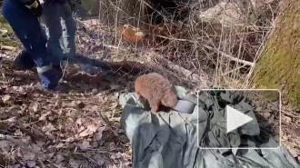 Пойманного в центре Петербурга бобра поместили в Ораниенбаумский заказник