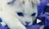 На выставке в Петербурге котята и кошки соревновались в красоте и королевской выдержке