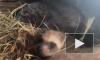 В приморском зоопарке самка енота-полоскуна родила рекордное количество детенышей