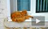 В День защитника Отечества петербуржцам раздадут 20 рыжих котов